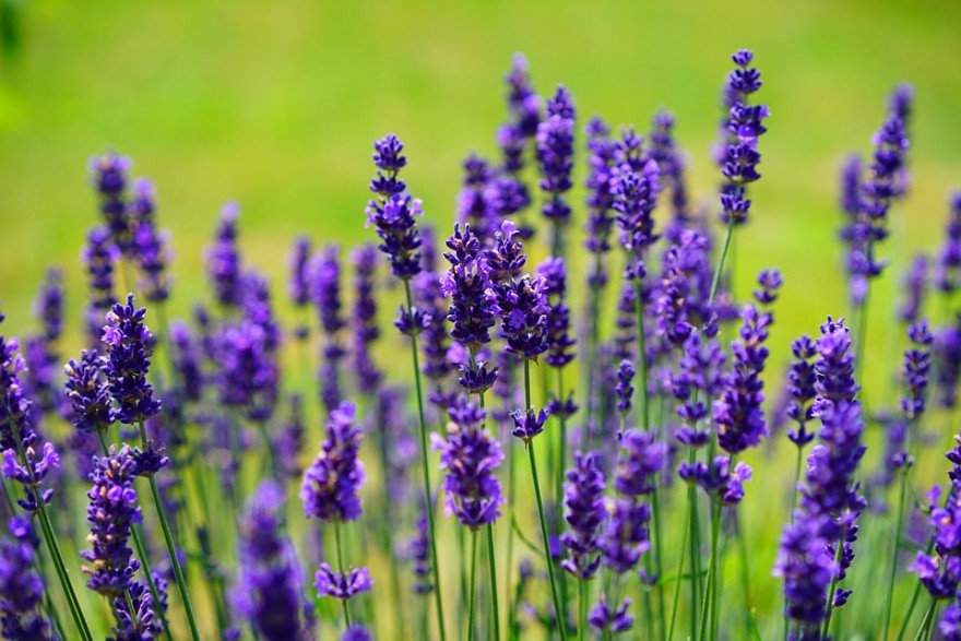 Aroma Aromatic Bed Botany Cottage Garden Crop Decorative
