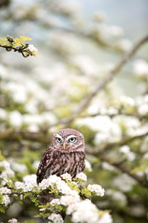 small-owl-in-the-white-flower-trees