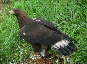 adolescent-golden-eagle-aquila-chrysaetos