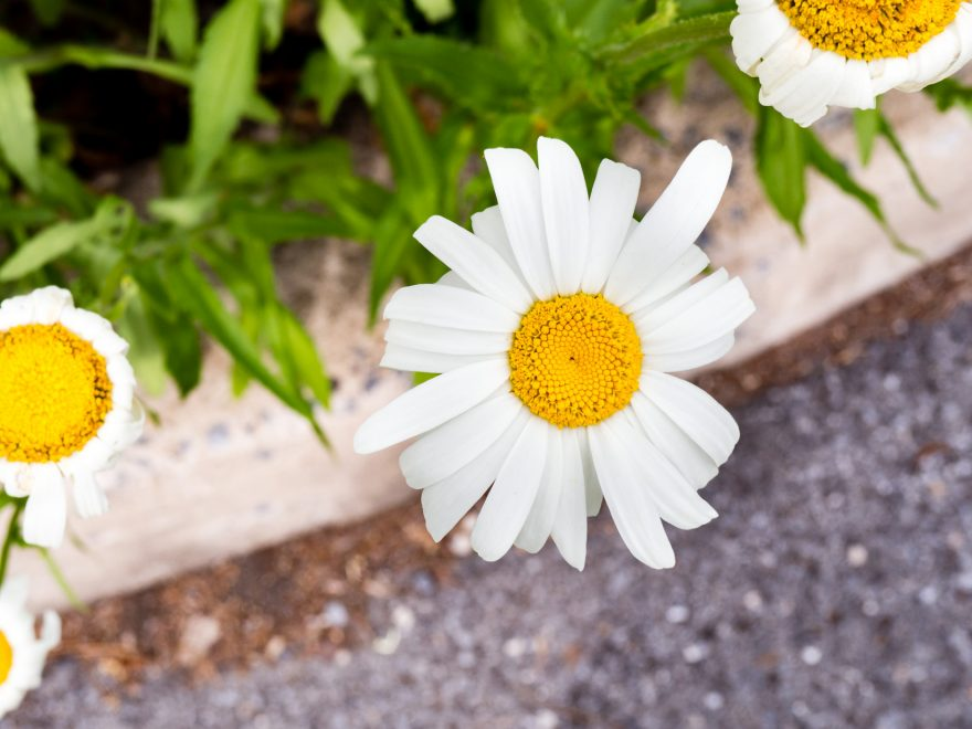 White and Yellow Flower Over Sidewalk