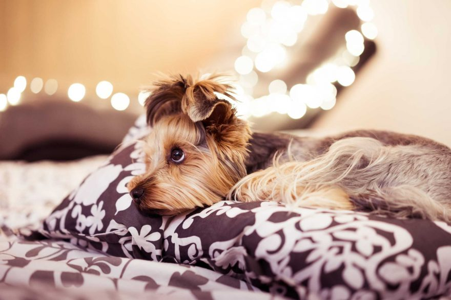 Cute Yorkshire Terrier Lying in Bed
