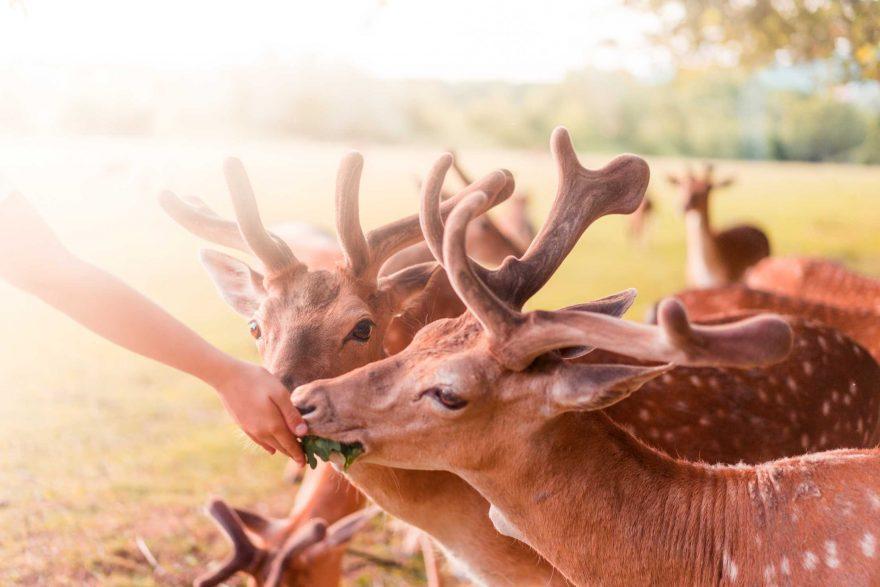 Feeding Beautiful Fallow Deers