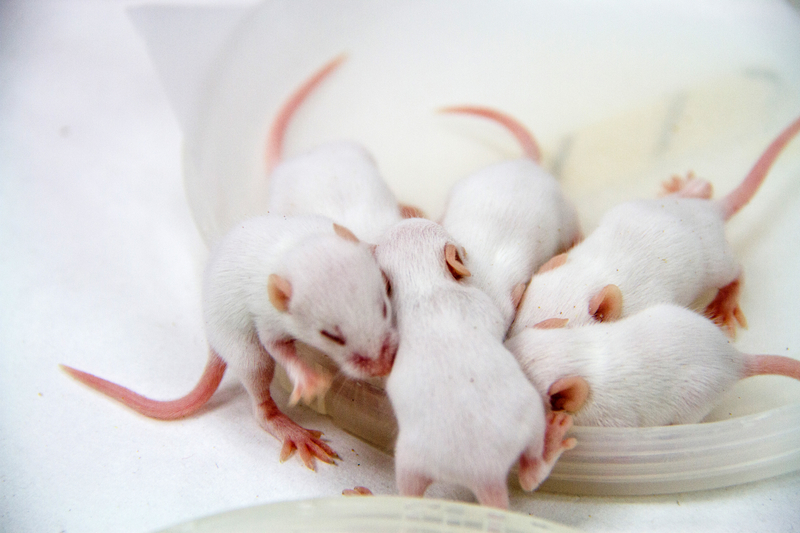 White Baby Mice bunched together