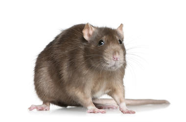 Rat, Isolated, White Background