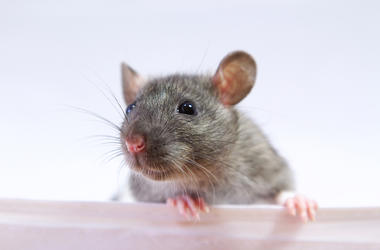 Rat, Mouse, Close Up