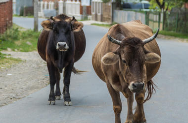Cows Walk Through The Streets