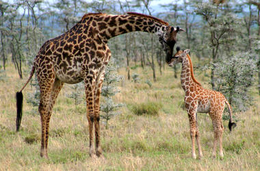 Mama And Calf Giraffe
