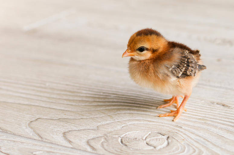 [VIDEO] Hatched Egg Can Still Produce Baby Chick Using Chinese Technology