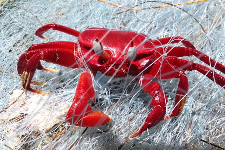 Red crab in the fishing net