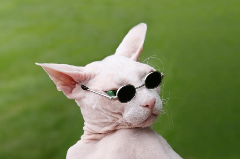 hairless_cat