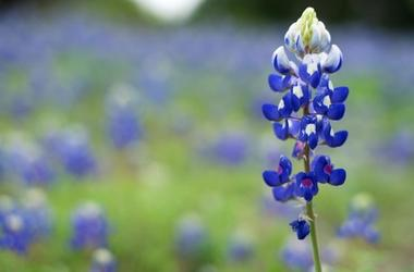 Bluebonnets de Texas