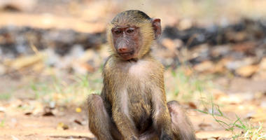 Olive Baboon. Savanna, national
