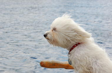 Dog, Windy, Riding Boat