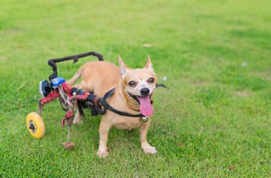 Dog with wheelchair
