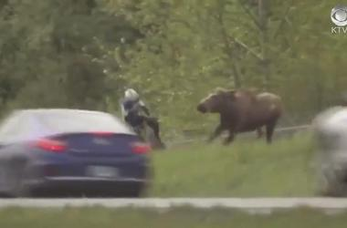 Protective mother moose charges cyclist
