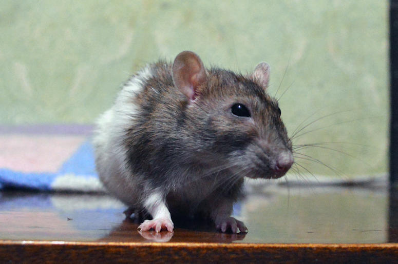 Rat, Mouse, Rodent, Cute