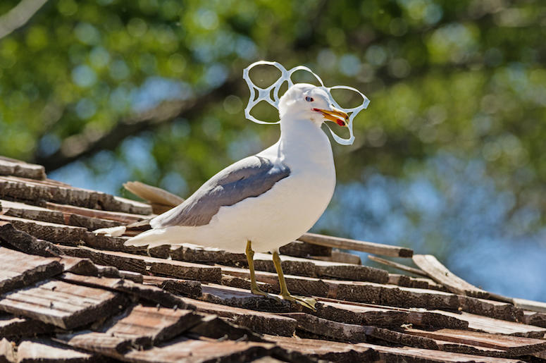 Seagull, Bird, Trapped, Six Pack, Plastic