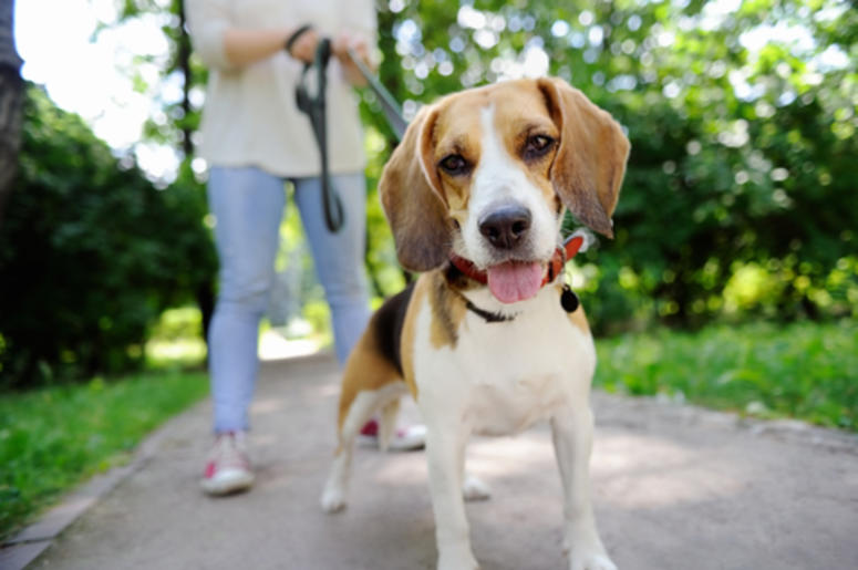 Beagle At The Park