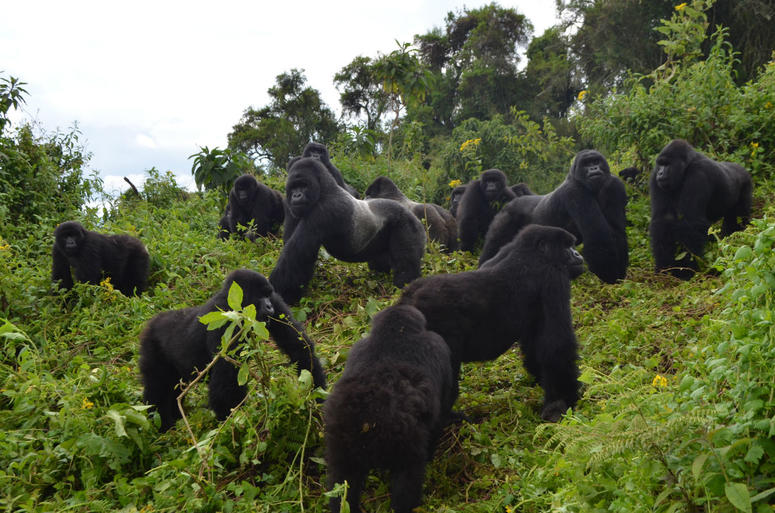 This 2014 photo provided by the Dian Fossey Gorilla Fund shows a group of mountain gorillas in Rwanda's Volcanoes National Park.