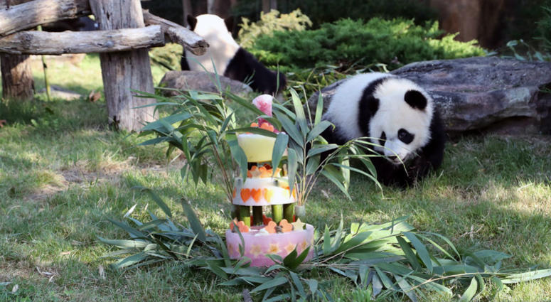 Bring On The Cake Frances Baby Panda Has His 1st Birthday Kyw