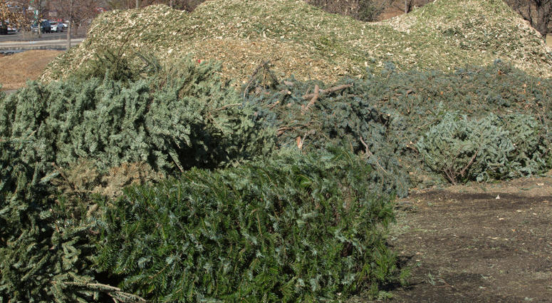 Christmas tree recycling - Philadelphia Christmas Tree Recycling Starts Jan. 2. Here's Where To