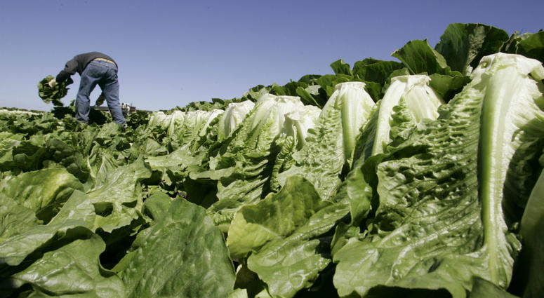 In this Aug. 16, 2007 file photo, a worker harvests romaine lettuce in Salinas, Calif. U.S. health officials are declaring an end to a food poisoning outbreak blamed on romaine lettuce from California.