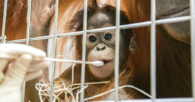 In this undated photo, released Thursday Jan. 31, 2019, by Zoo Basel, zoo keepers routinely take DNA samples from female orangutan cub Padma to determine her paternity at the Basel Zoo.