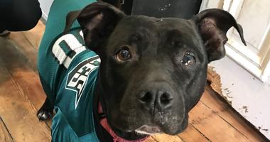 Adoptable pup Nicky poses in an Eagles jersey.