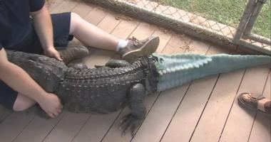 """Thanks to a team of researchers and doctors, the alligator in Arizona known as """"Mr. Stubbs"""" can move like a normal alligator now that he has a prosthetic tail. The tail took more than a year to develop."""