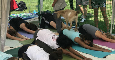Philly Goat Project partners with Temple University for goat yoga.