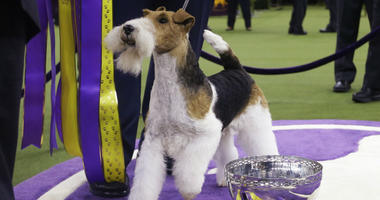 King, a wire fox terrier, poses for photographs after winning Best in Show at the 143rd Westminster Kennel Club Dog Show Tuesday, Feb. 12, 2019, in New York.