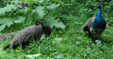 These two peacocks were located and safely collected by the Philadelphia Zoo.
