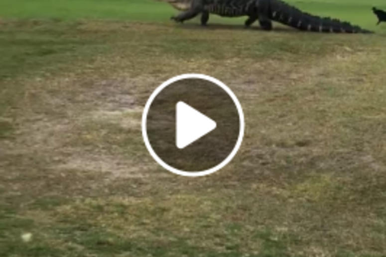 the 15 foot alligator is back on the florida golf courses mix 98 1
