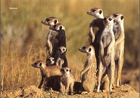 Should We Have Pet Meerkats Without A Permit Debate Org