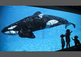 why orcas should not be kept in captivity