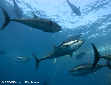 Protect Bluefin Tuna and Sharks from overfishing