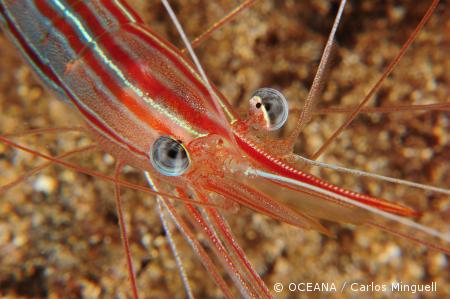 shrimp_Carlos_Minguell_35139_450w