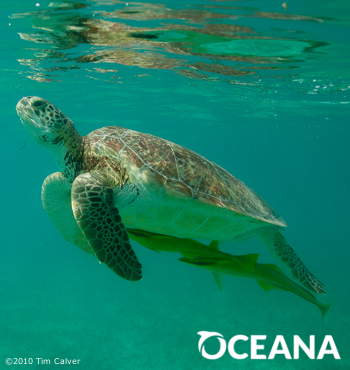 Donate now to help save sea turtles.