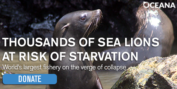 Thousands of sea lions at risk of starvation. World's largest fishery on the verge of collapse. Donate.