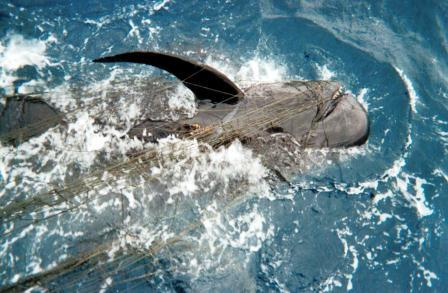Pilot whale completely tangled in gillnets