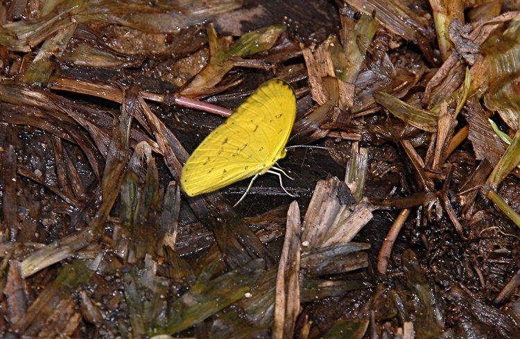 jan_02_3564_yellow_butterfly.jpg