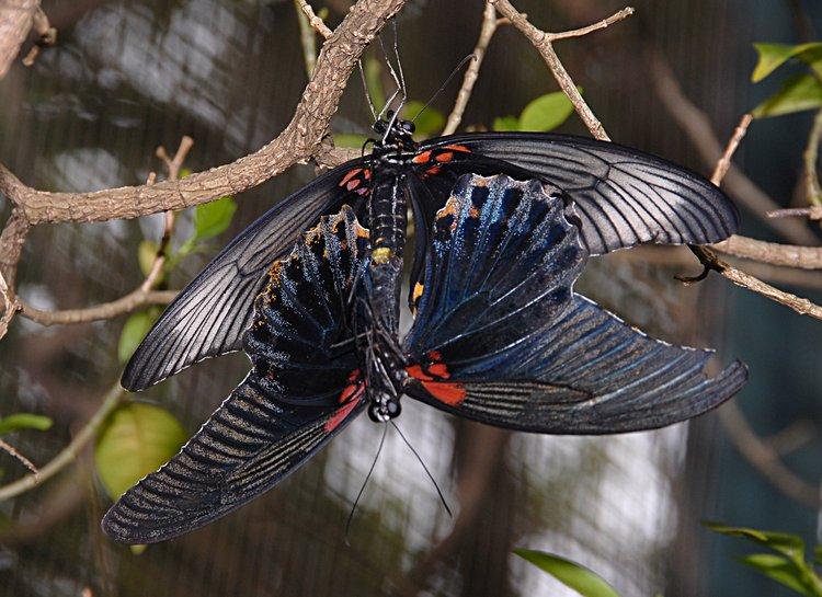 jan_02_3690_butterfly_mating.jpg