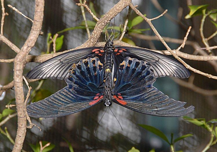jan_02_3695_butterfly_mating.jpg