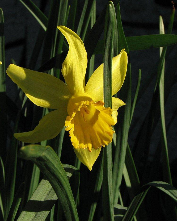 mar_12_0190_daffodil.jpg