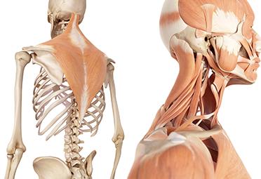 Movement Anatomy Photo