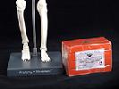 Anatomy and Movement Bundle