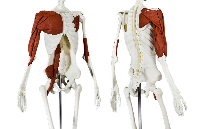 Anatomy Movement Bundle Anatomy Movement Store Balanced Body