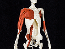 Anatomy and Movement Skeleton