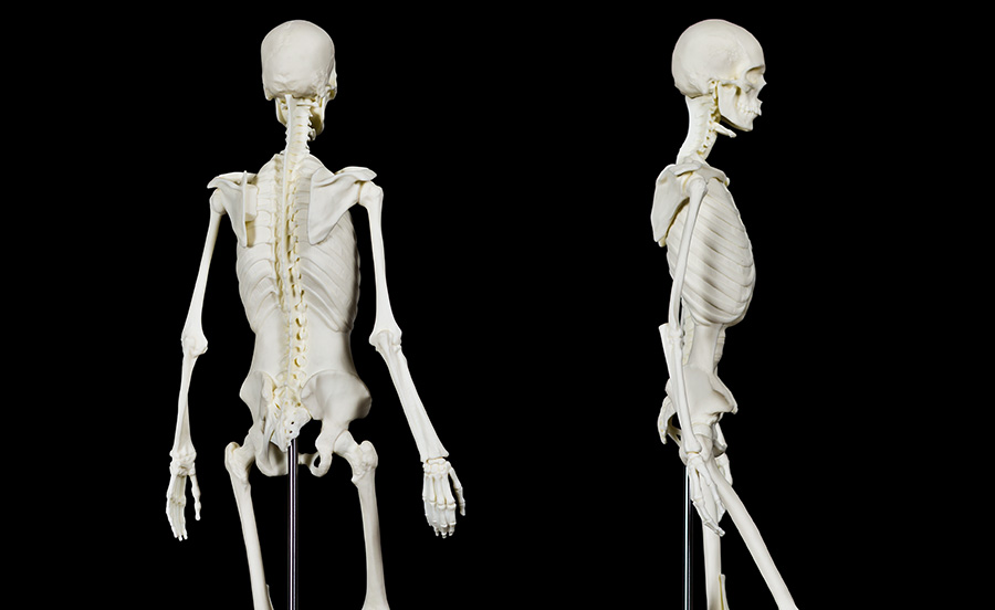 Anatomy + Movement Skeleton | Anatomy + Movement | Store | Balanced Body