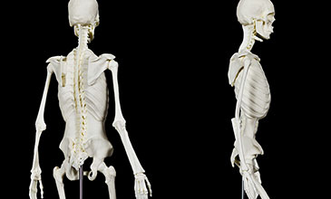 Product photo of Skeleton model from back and side
